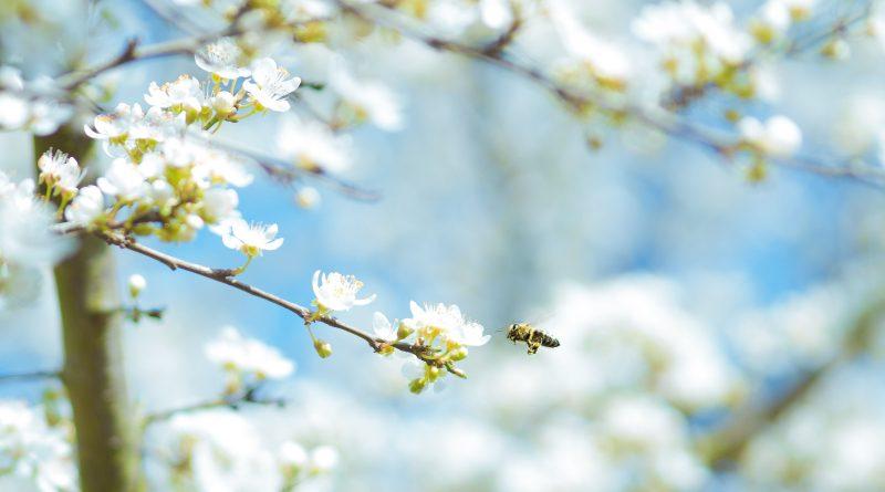 Pollen fliegen im Frühling verstärkt auch an der Algarve