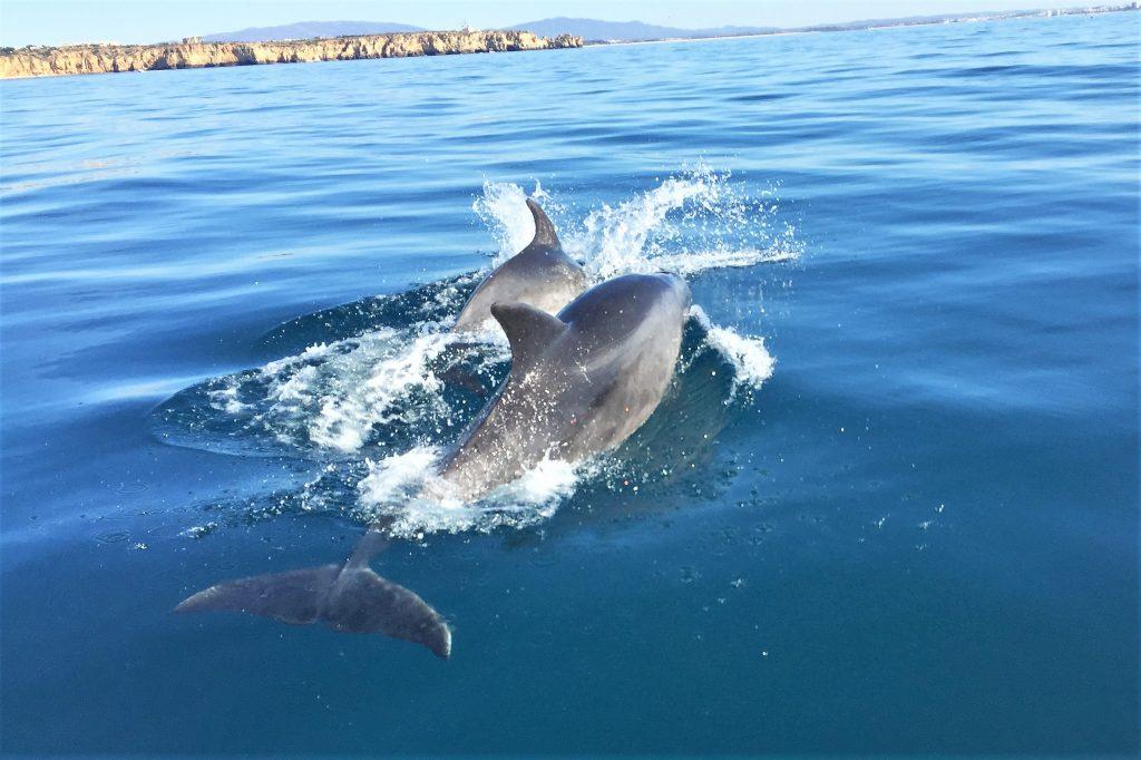 Wale und Delfine tummeln sich vor der Küste der Algarve