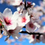 Mandelblüte zieht Tausende an die Algarve