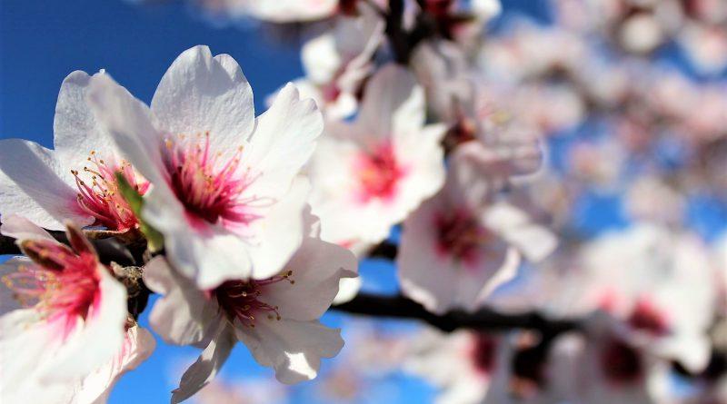Mandelblüte zieht tausende von Touristen an die Algarve