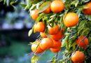 Algarve-Zitrusfrüchte wollen deutschen Markt erobern