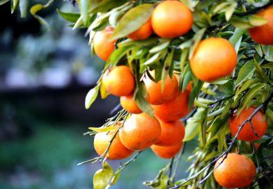 Algarve-Zitrusfrüchte werden dominiert von der besonders schmackhaften und süßen Orange