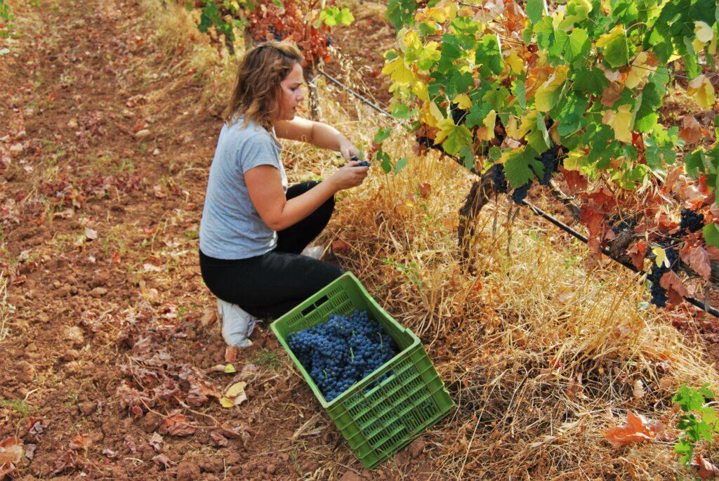 Algarve News zu Weinlese in Quinta da Tor im Kreis Loulé