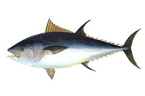 Muxama ist Meeresschinken aus Thunfisch der Ost-Algarve